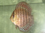 discus red spotted green